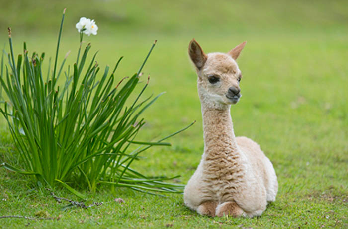 photo of a baby alpaca
